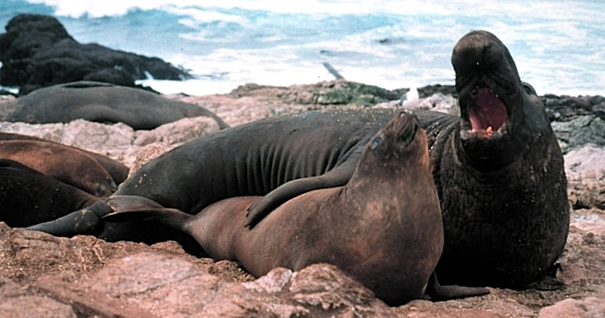 Northern elephant seal, male and female (Mirounga angustirostris), Gulf of the Farallones National Marine Sanctuary (California)</p>