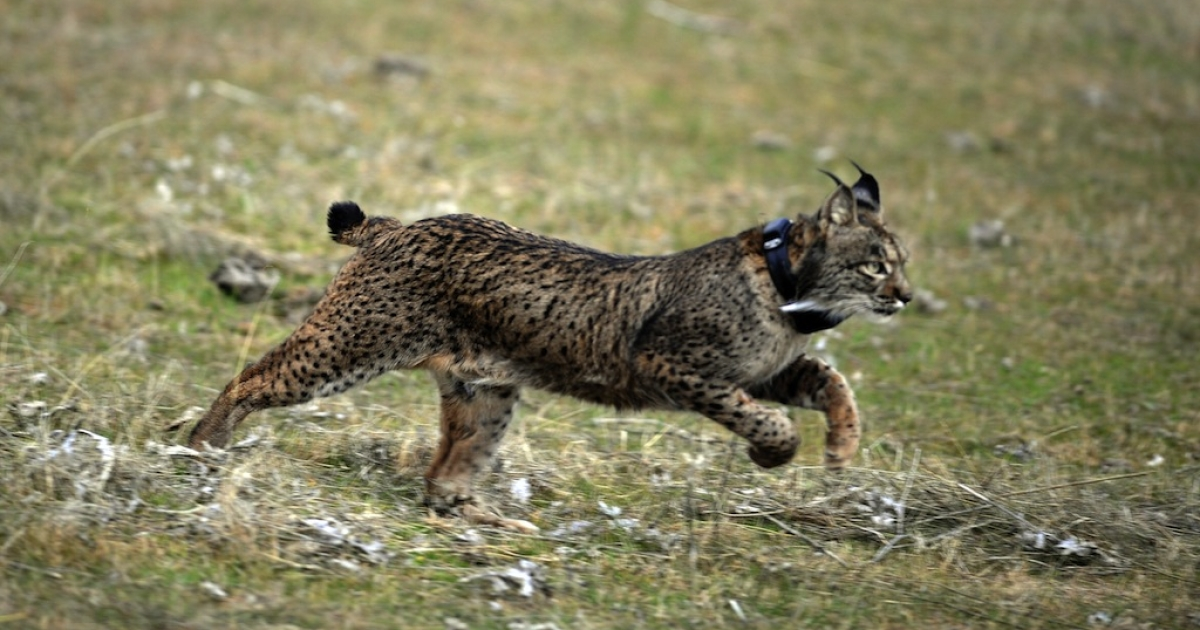 Conservationists have preserved the embryos of two Iberian lynx females in hopes of implanting them into a surrogate mother. There are barely 150 of the critically endangered cats left.</p>