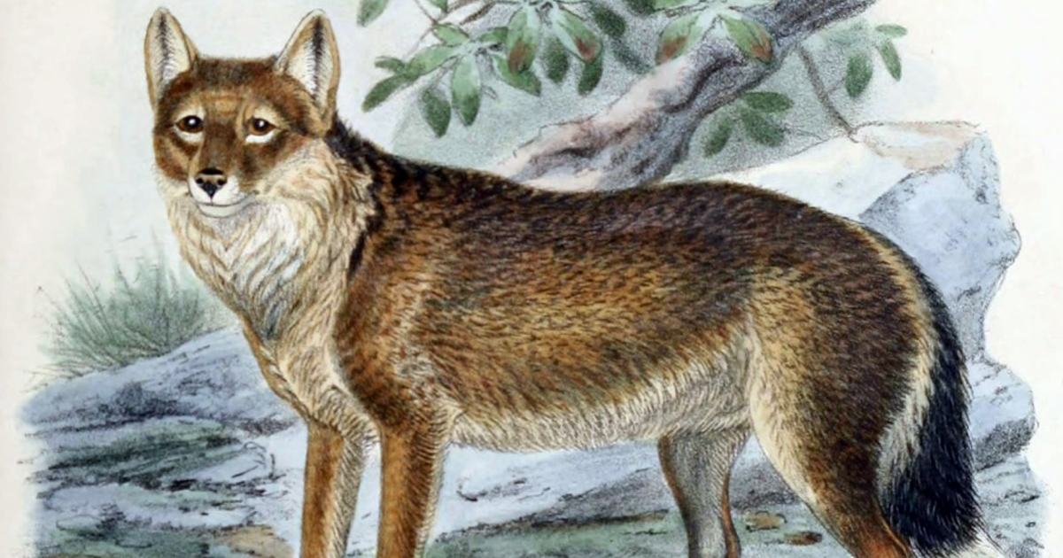 A new study has shed light on to how the now-extinct Falkland Islands wolf arrived to the island.</p>