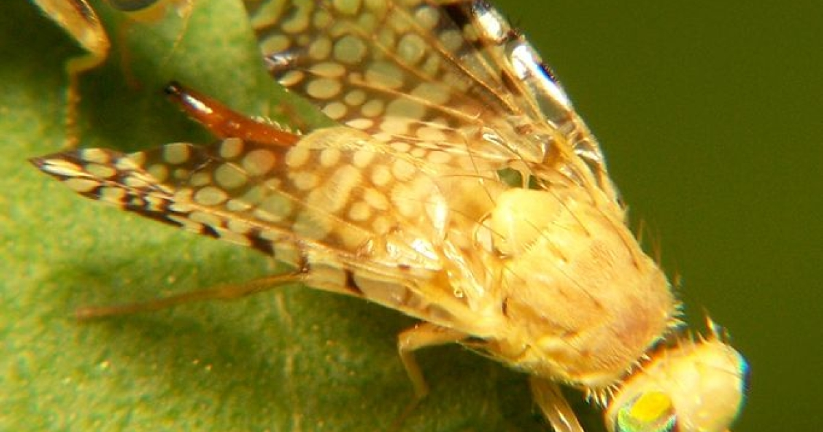 Fruit flies benefit from organic food and live longer than those who consume conventional produce.</p>