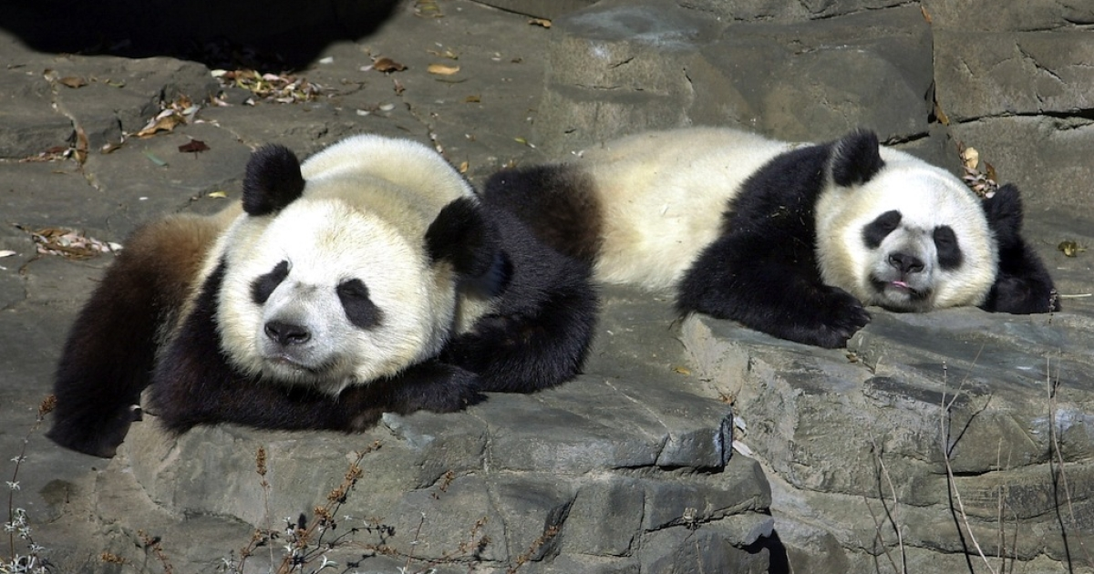 Giant pandas Tian Tian, left and Mei Xiang sleep on the rocks in front of their custom-made grotto January 4, 2000 at the National Zoo in Washington DC. The zoo announced Saturday that Mei Xiang has been artificially inseminated with sperm from Tian Tian.</p>