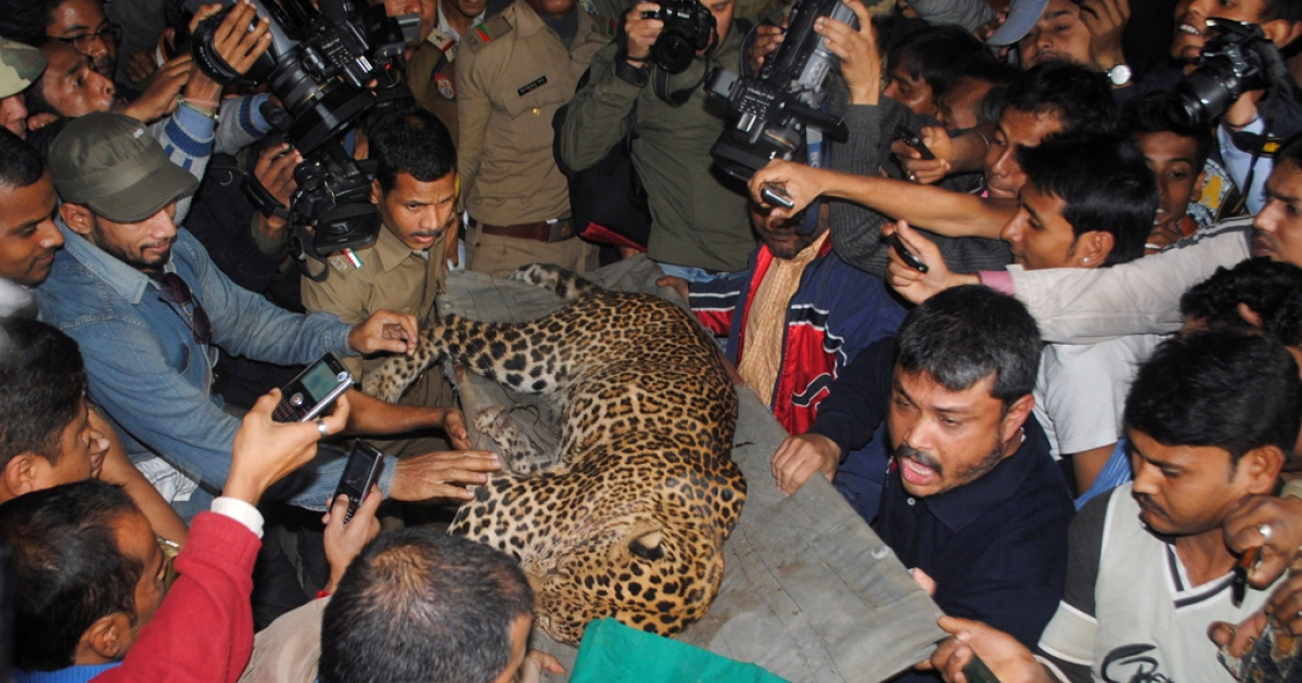 A tranquilized leopard is carried off by park officials after the feline attacked people in Guwahati, India, on Jan. 7, 2012.</p>