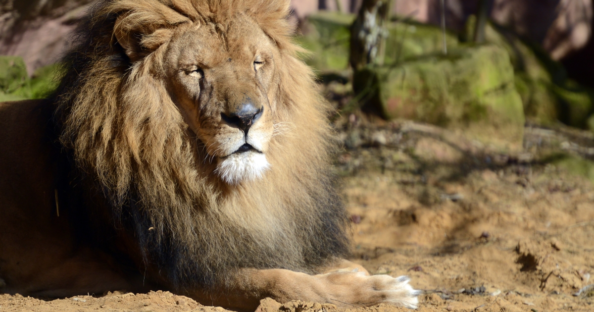 Rangers launched a hunt for the lion following the tragedy, amid concern the same animal may have killed a local man who disappeared at the weekend.</p>