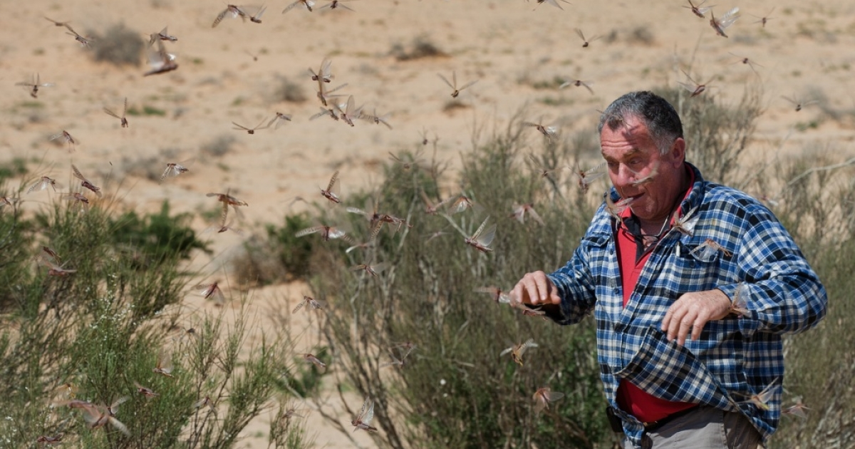 An Israeli man runs through a swarm of locusts arriving over the Negev desert near the Egyptian border on March 6, 2013 in Kmehin, Israel.</p>