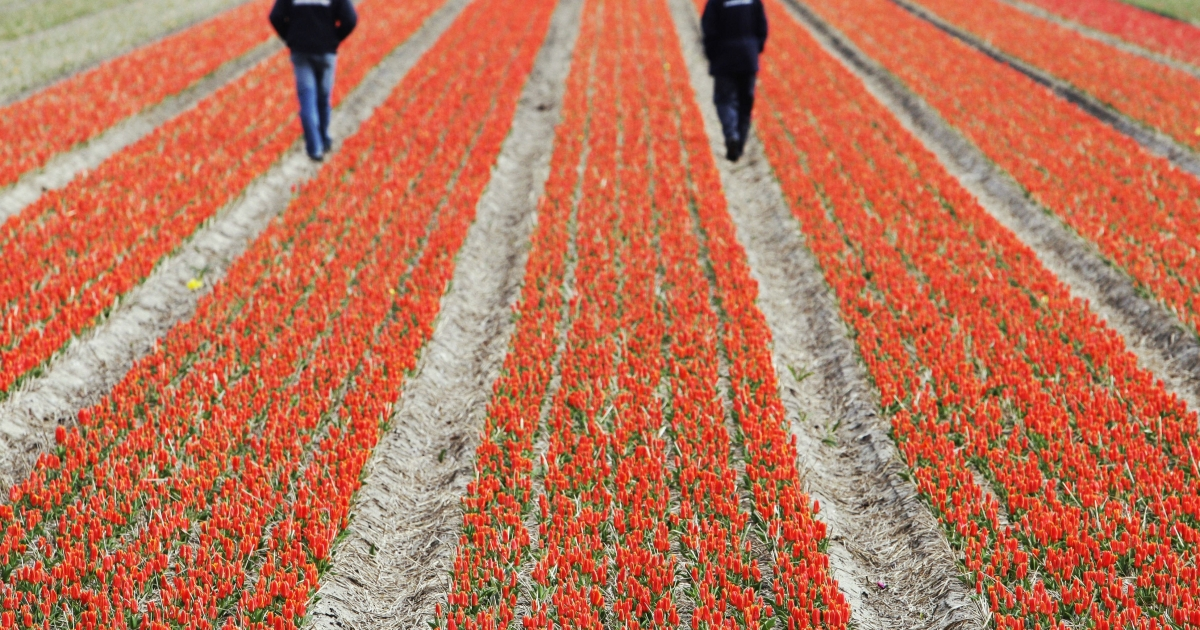 A tulip field near Lisse, the Netherlands, on Mar. 17, 2008.</p>