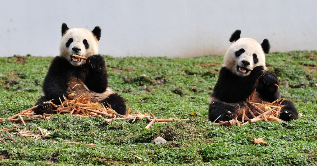 Pandas are notoriously poor breeders. The same cannot be said about their eating habits.</p>