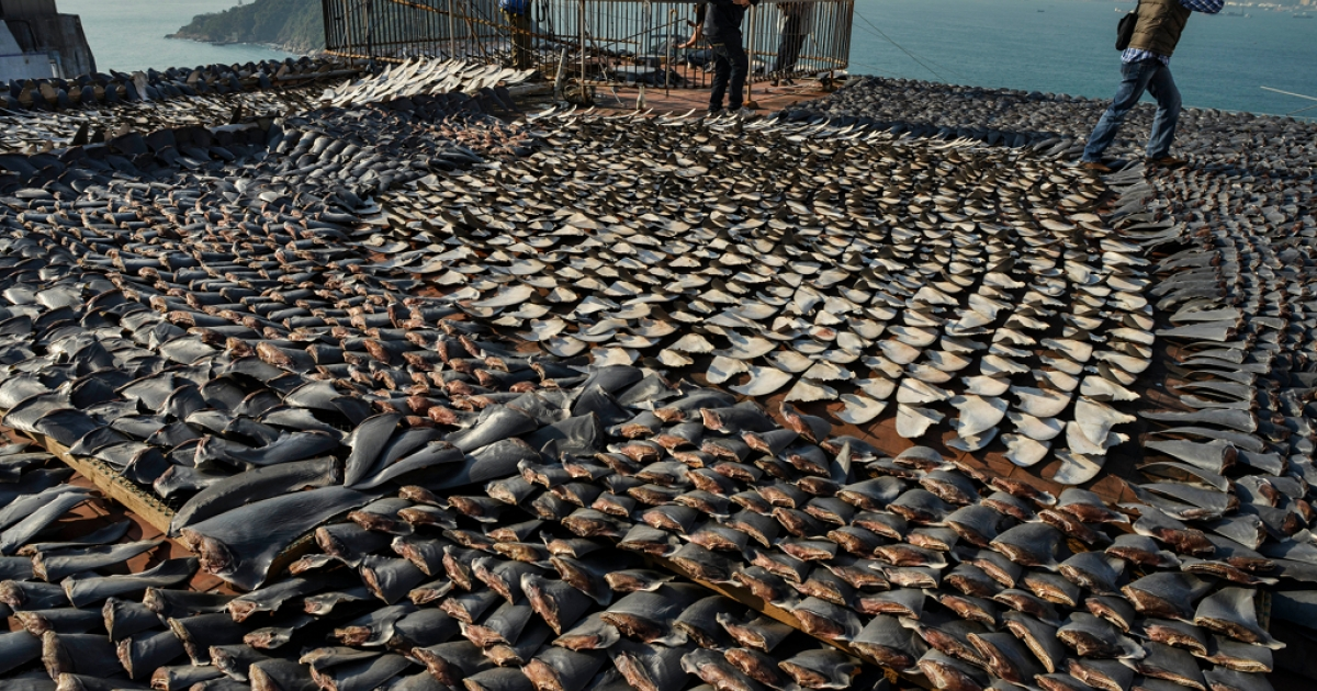 Shark fins drying in the sun cover the roof of a factory building in Hong Kong on Jan. 2, 2013.</p>