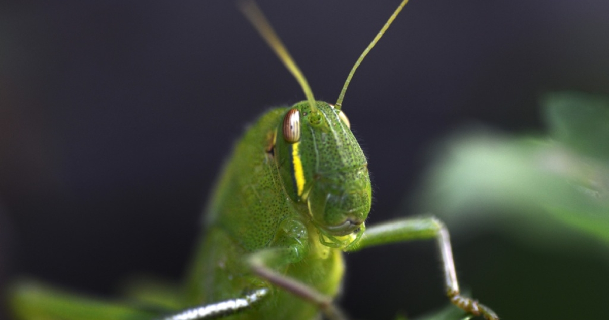 A grasshopper is pictured at a garden in Kathmandu on September 8, 2012.</p>