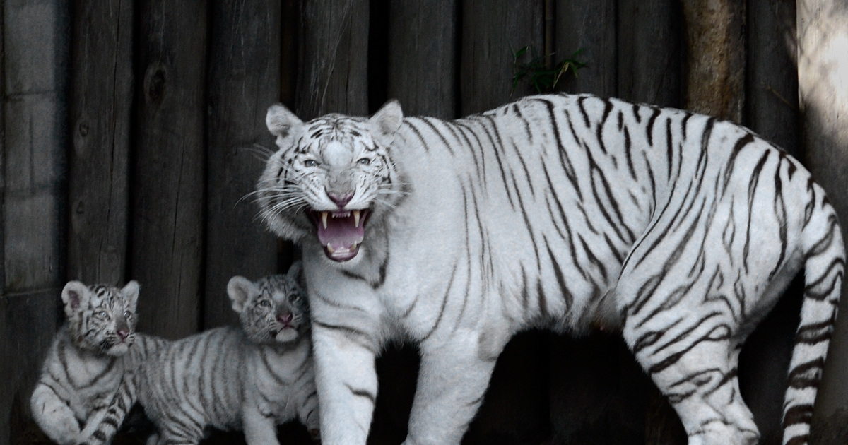 Cleo, a female Bengal white tiger, protects two of her four cubs -- born in captivity on January 14, 2013 -- during their presentation at the Buenos Aires zoo on March 21, 2013. Chinese scientists have discovered how the white tiger becomes white.</p>
