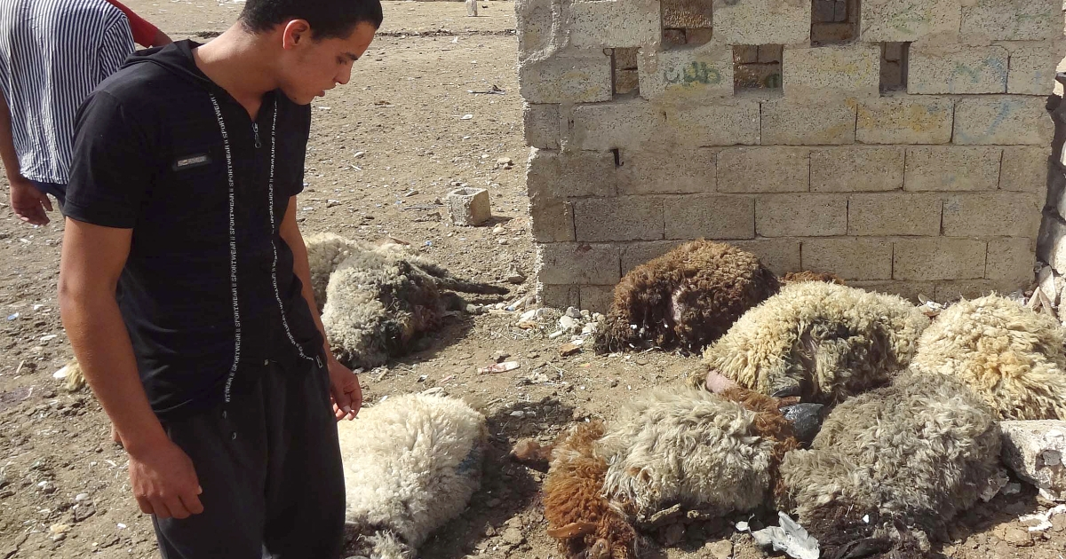 An Iraqi looks at dead sheep killed in two roadside bombs that detonated in a livestock market in the northern city of Kirkuk, on May 21, 2013.</p>