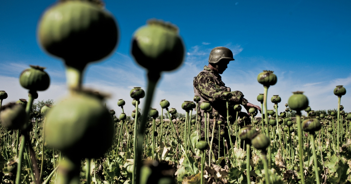 An Afghan soldier examines a poppy seed pod in Zhari District on May 1.  Despite planting record numbers of poppy this year, farmers say the plants are not producing well.</p>