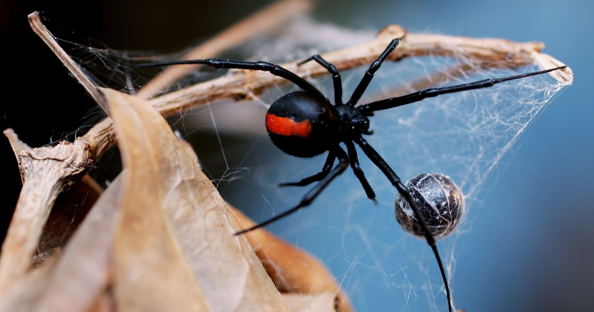 Black widow spider females are known to kill their male partner after sex but scientists found that males are equally blood-thirsty.</p>