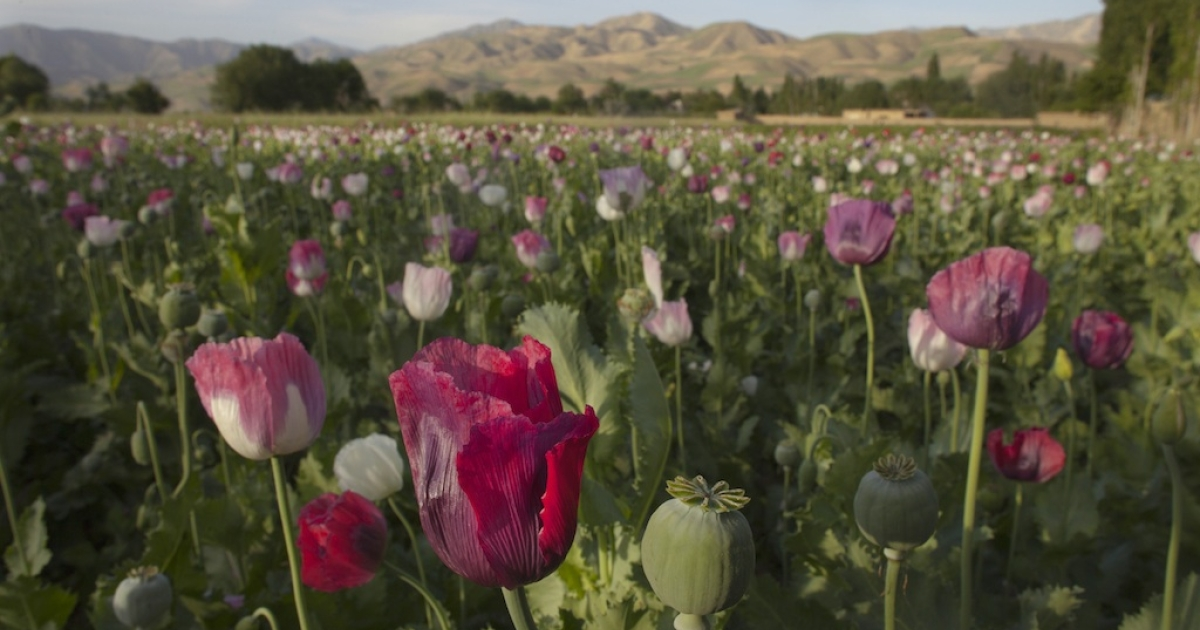 Poppy plants in bloom in a field in Faizabad, Badakshan, Afghanistan in 2011. Today, in a district near Faizabad, the Afghan government is locked in a stalemate with Taliban insurgents.</p>