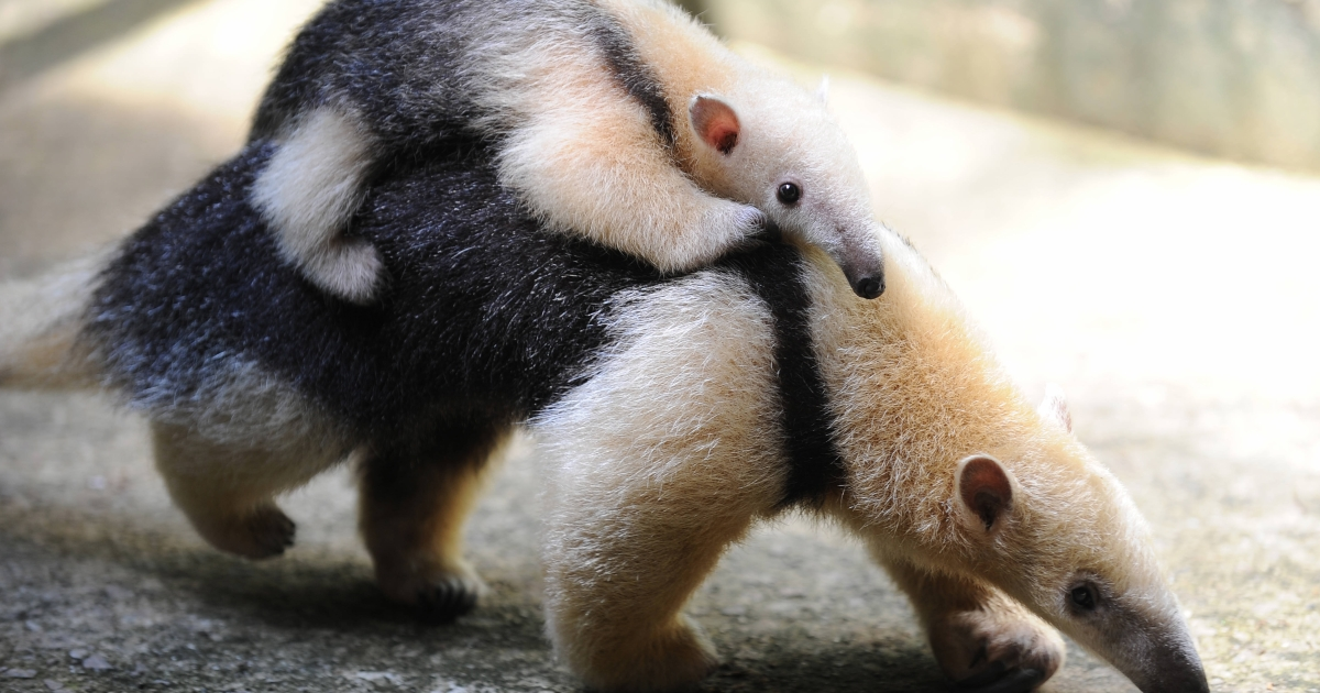 A female anteater (Tamandua Mirim) carries her baby at the zoo in Rio de Janeiro, Brazil on March 9, 2010.</p>
