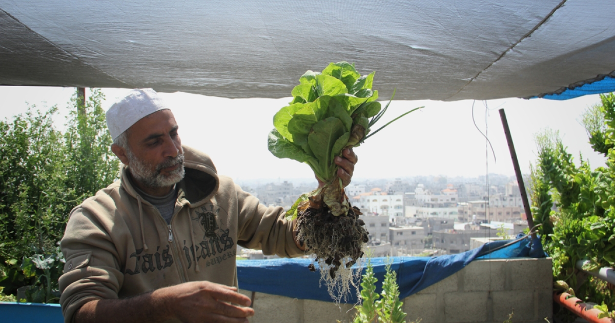 Abu Ahmed pulls lettuce from his rooftop aquaponic farm in the Daraj area of Gaza City. He uses this small, urban space to grow tomatoes, parsley, red cabbage and onions, all of which feed his family. He belongs to a long generation of farmers who tilled the land in a village now located in present-day Israel.</p>