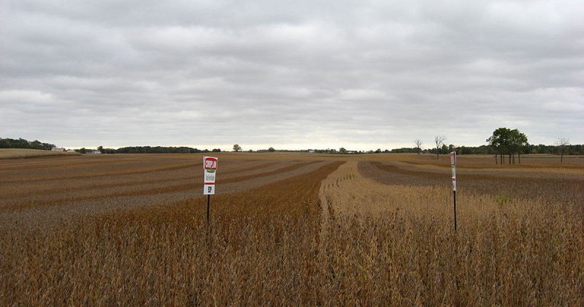 Soybean field in Hale Township, Hardin County, Ohio, United States, located on the southern side of County Road 200 west of its intersection with Township Road 179. This field consists of multiple soybean test plots (Croplan Genetics); strips of different colors are different varieties of soybeans.</p>