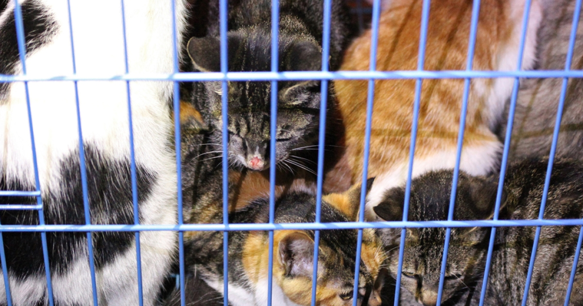 This picture taken on November 1, 2013 shows rescued cats in a cage in Wuxi, east China's Jiangsu province. Animal activists are combing a forest in eastern China for more than 1,000 kittens rescued from a meat supplier only to be let loose by local authorities, an organizer said Monday.</p>