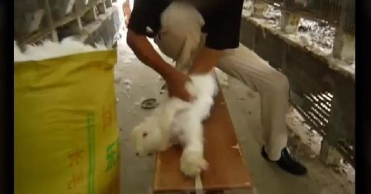This screengrab of a video made by People for the Ethical Treatment of Animals shows Chinese farmers tearing the fur off angora rabbits strapped to wooden tables, appearing to be in agony.</p>