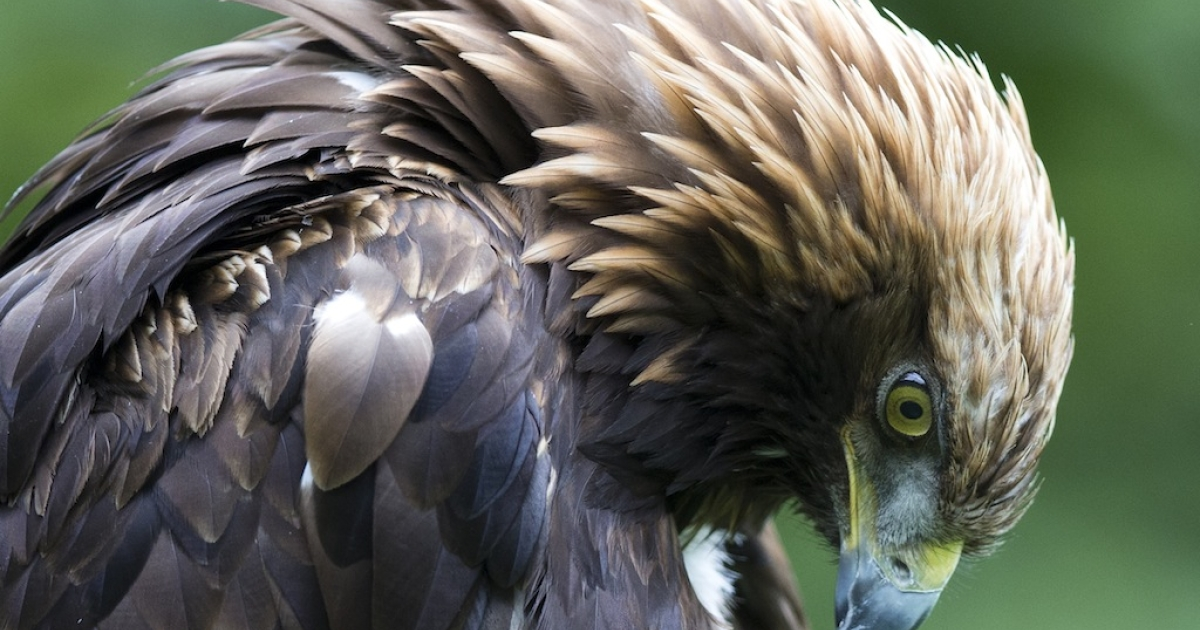 An Israeli eagle was captured by Hezbollah which claims that it was a spy.</p>