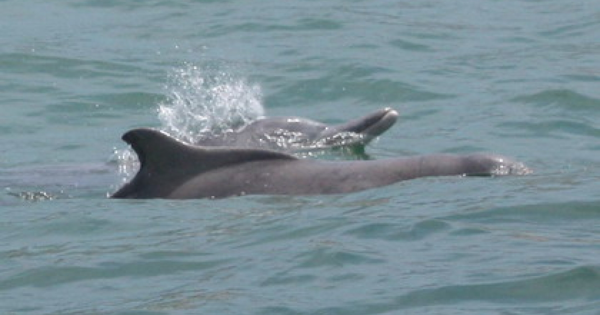 Two humpback dolphins.</p>