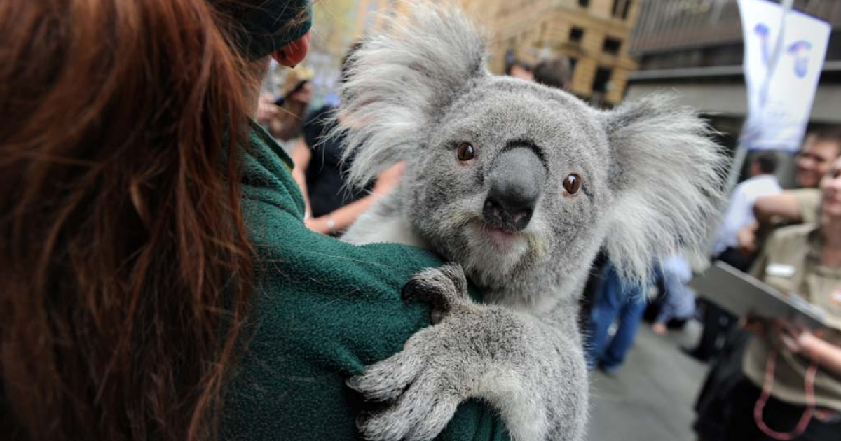 A koala at Martin Place public square in Sydney, Australia, Sept. 7, 2012.</p>