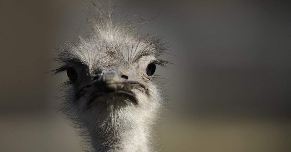An ostrich at a zoo in Antwerp, Belgium, Oct. 3, 2013.</p>