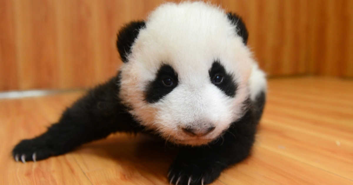 A panda cub at China Research and Conservation Center for the Giant Panda in Wolong, southwest China's Sichuan province, Sept. 29, 2013.</p>