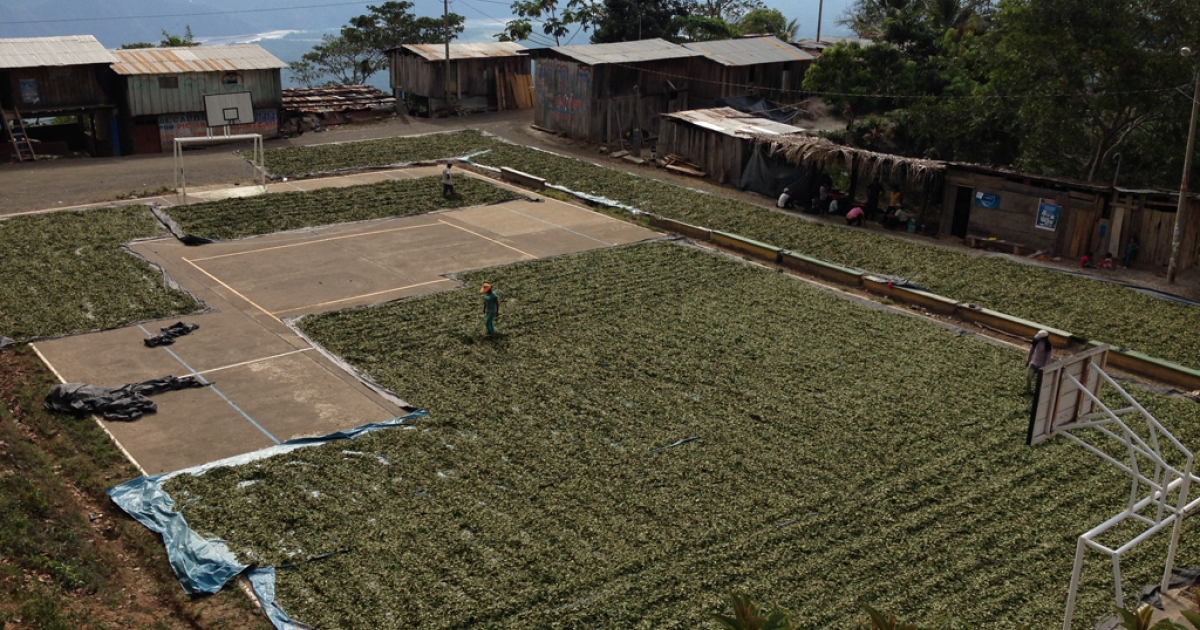 A village plaza full of drying coca leaves.</p>