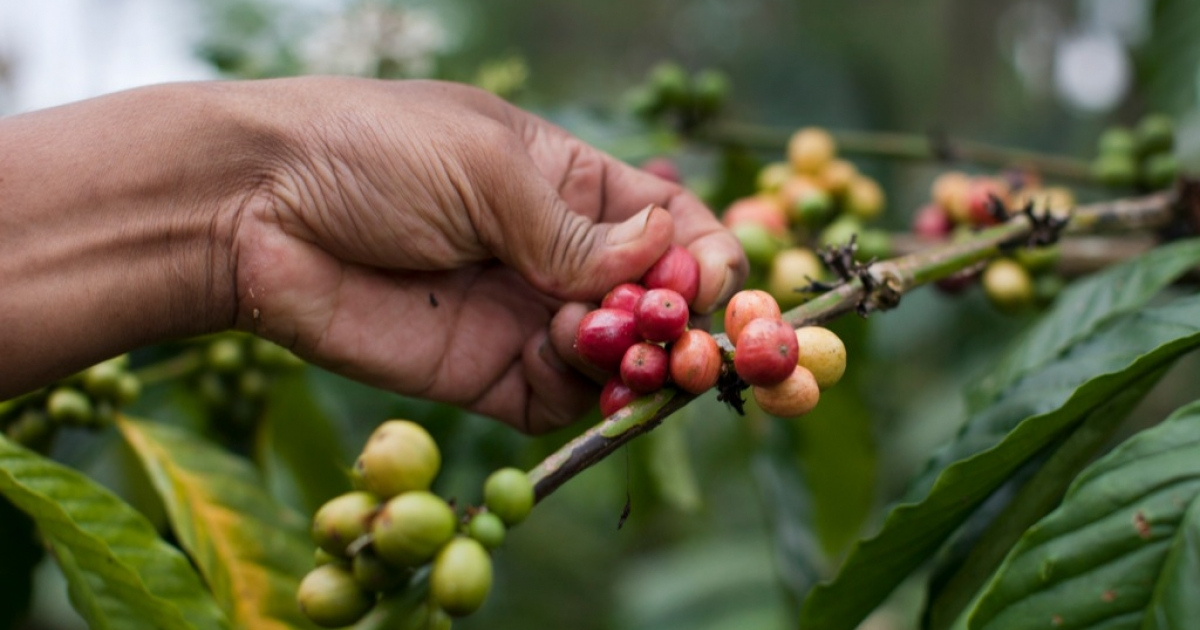 Robusta coffee beans, shown here growing in Indonesia, are a potential new export for South Sudan.</p>