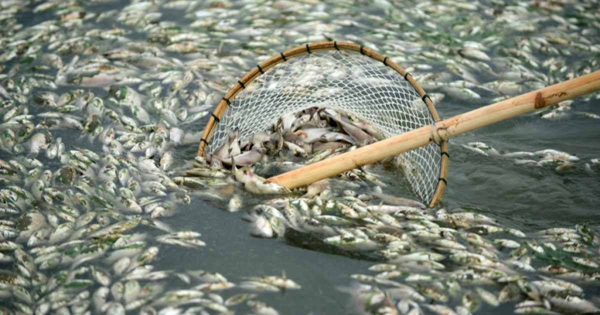 About 30,000 kilograms of dead fish had been cleared by late Sept. 2. The official Wuhan municipal government's emergency office Weibo account announced on September 3 that the fish had died of severely high levels of ammonia.</p>