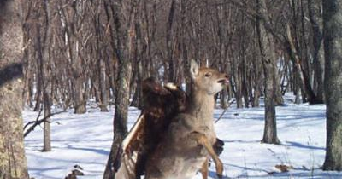 A camera trap set out for endangered Siberian (Amur) tigers in the Russian Far East photographed something far more rare: a golden eagle capturing a young sika deer.</p>