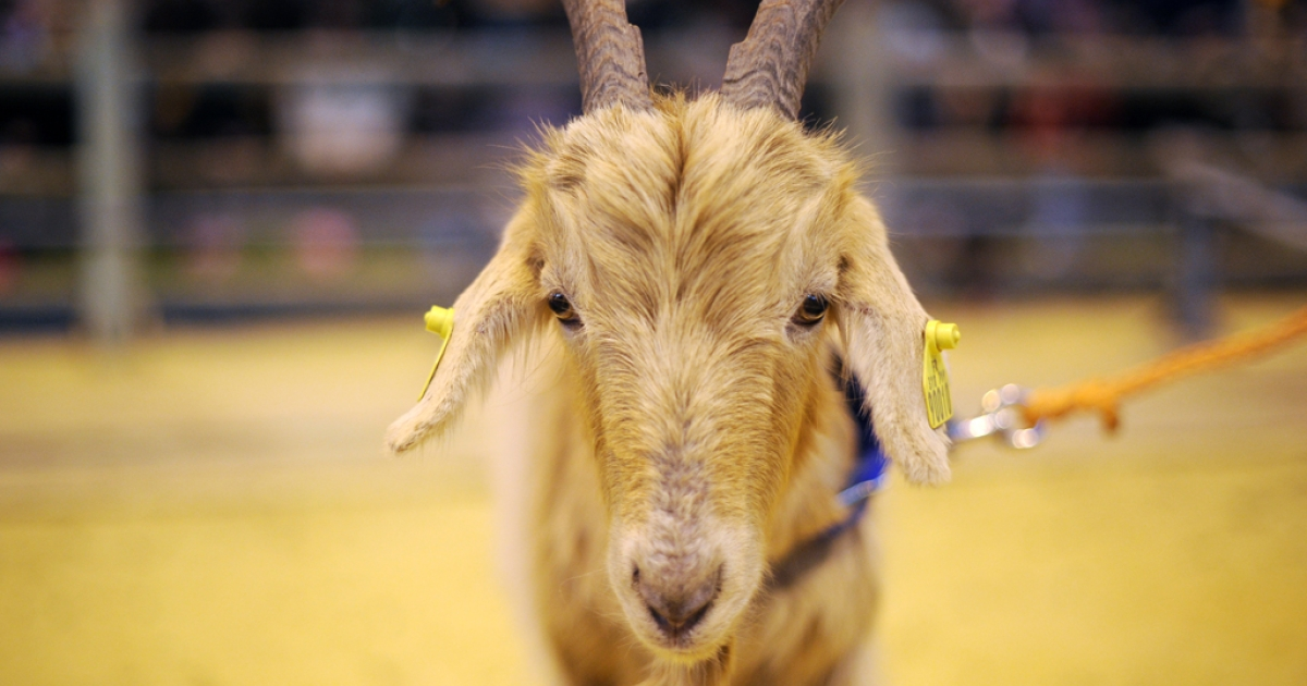 A goat is pictured on March 4, 2010 in Paris, during the international agricultural fair.</p>