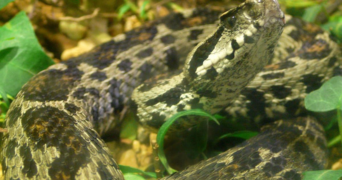 The ocellated mountain viper (Vipera wagneri).</p>
