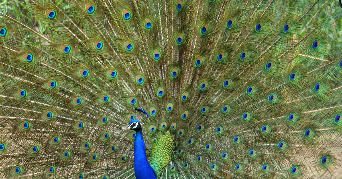 A peacock opens its feathers in a cage in the Nehru Zoological Park in Hyderabad on June 9, 2011. The peacock is the national bird of India. AFP PHOTO/Noah SEELAM (Photo credit should read NOAH SEELAM/AFP/Getty Images)</p>