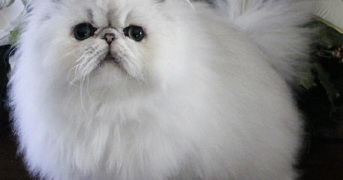 A fluffy Persian cat.</p>