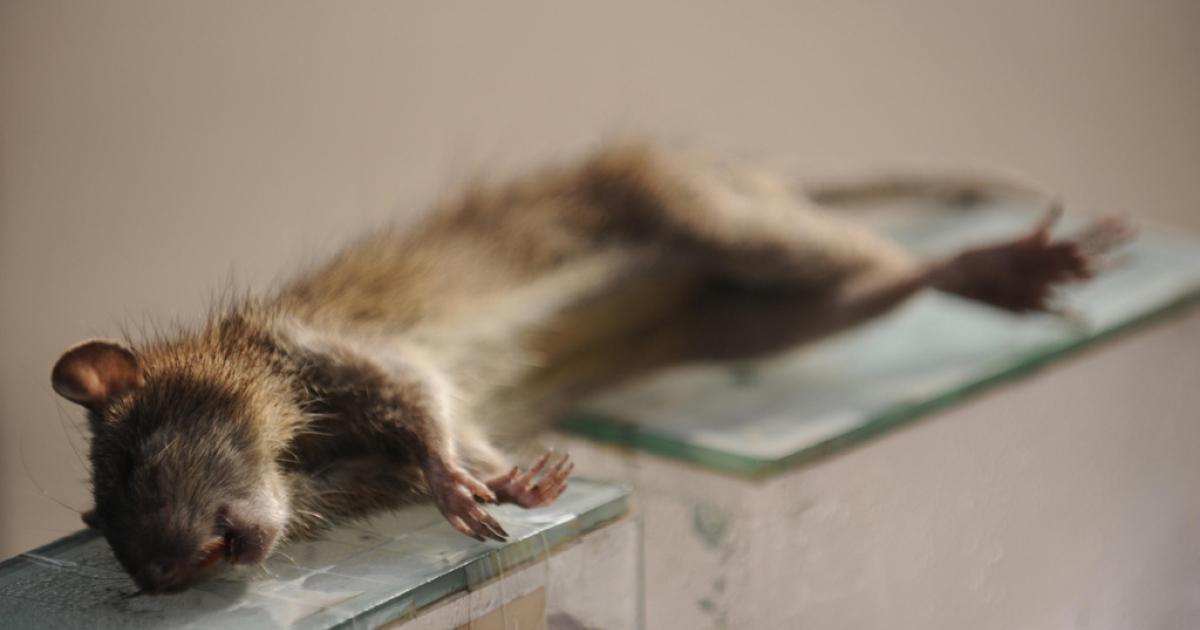Dead rat.</p>