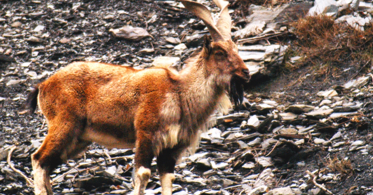 A male Markhor in the Tooshi Game Reserve, Chitral, Pakistan</p>