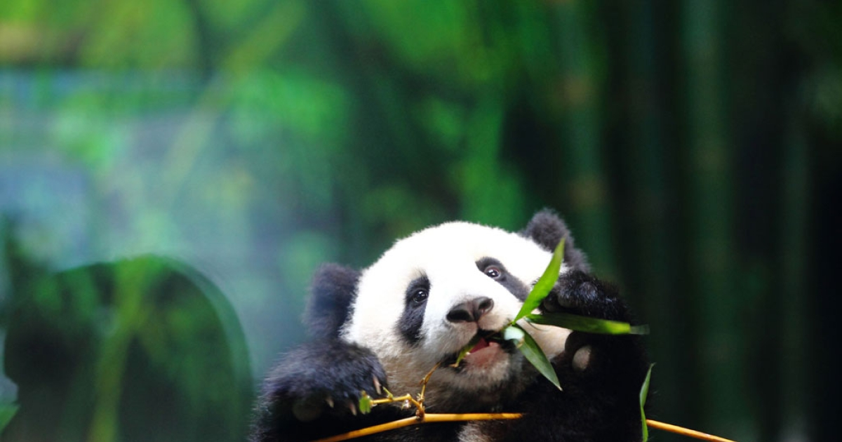 This picture taken on Feb. 16, 2014 shows a six-month-old giant panda cub Long Long eating bamboo in an enclosure in Chimelong Safari Park in Guangzhou in China.</p>