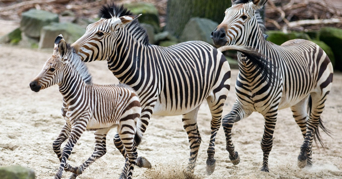 Six weeks old zebra Davu runs next to his mother Nele in their enclosure in the zoo in Hanover, central Germany, on Feb. 21, 2014.</p>