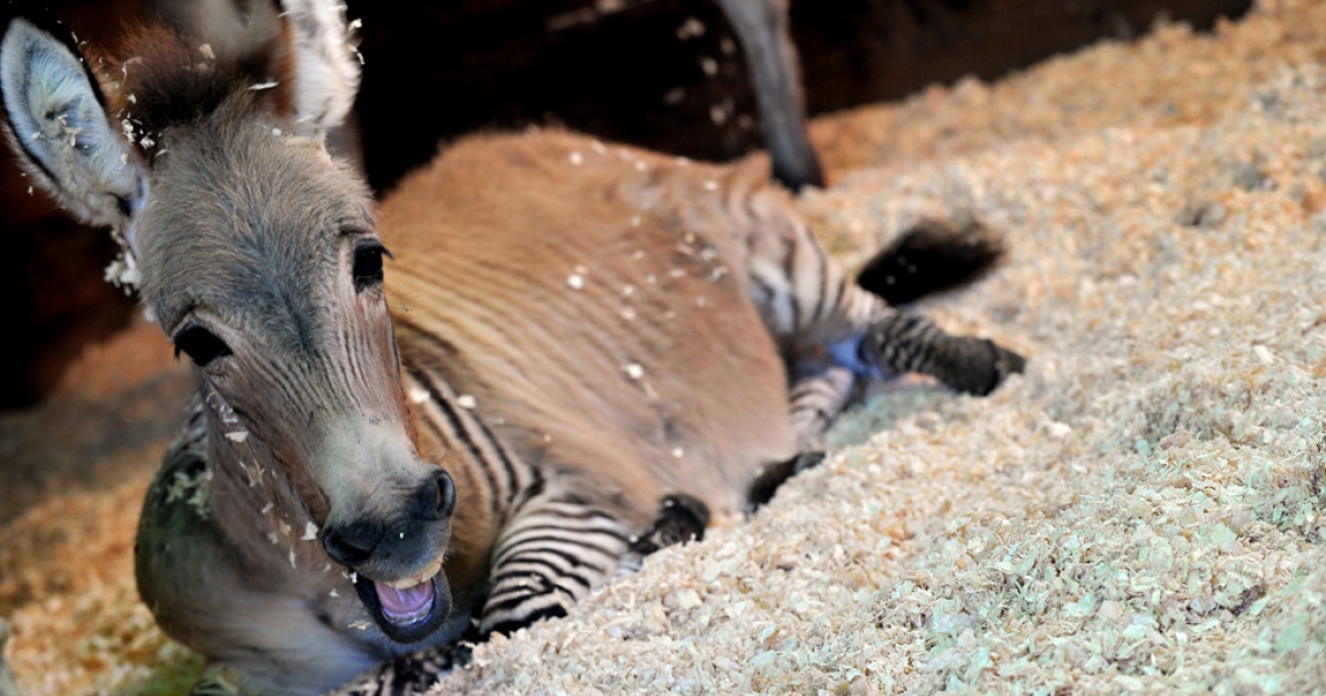 A zonkey, a cross between a zebra and a donkey, in Florence, Italy on Oct. 11, 2013.</p>