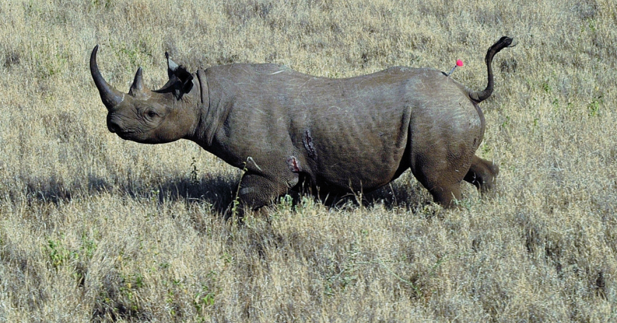 A wild male black rhino named Sambu is pictured after it was darted from a helicopter in Lewa conservancy on August 28, 2013.</p>