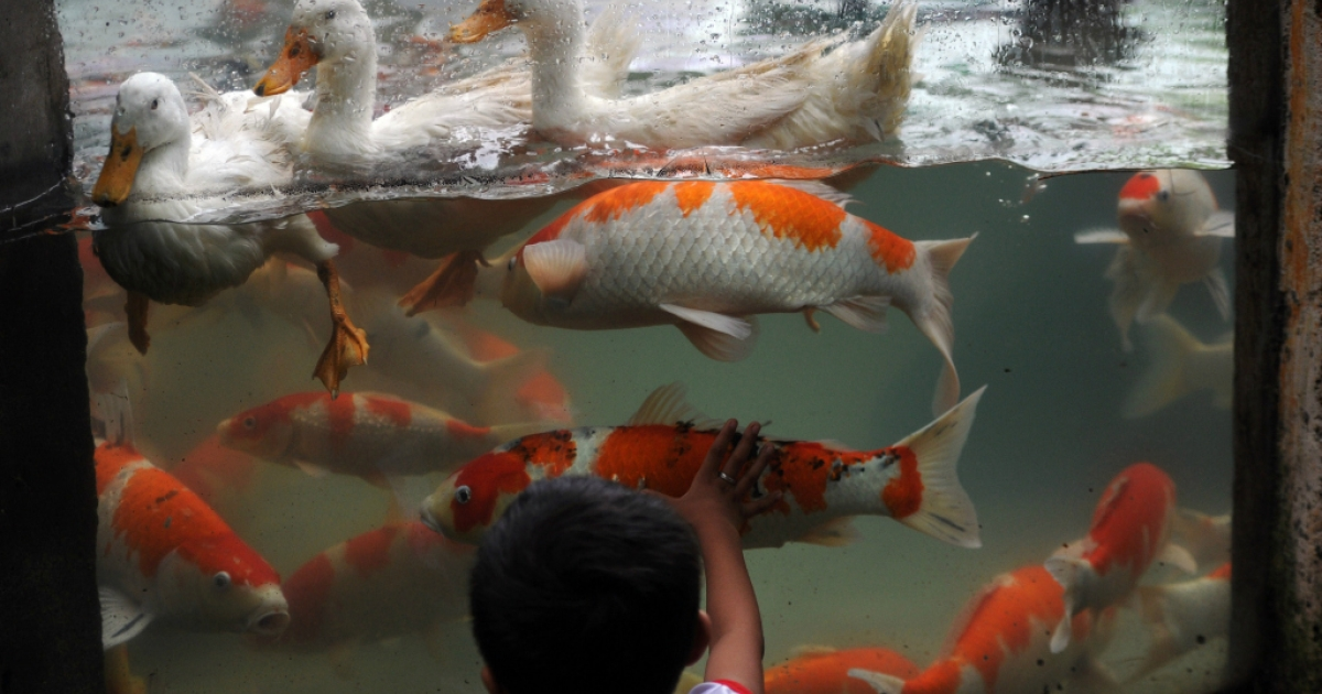 A boy touches the glass casing of an aquarium housing Japanese Koi carps with ducks at a zoo in Manila on August 22, 2014. The Japanese Koi carps are exhibited as part of the zoo's attraction.  AFP PHOTO/TED ALJIBE        (Photo credit should read TED ALJIBE/AFP/Getty Images)</p>