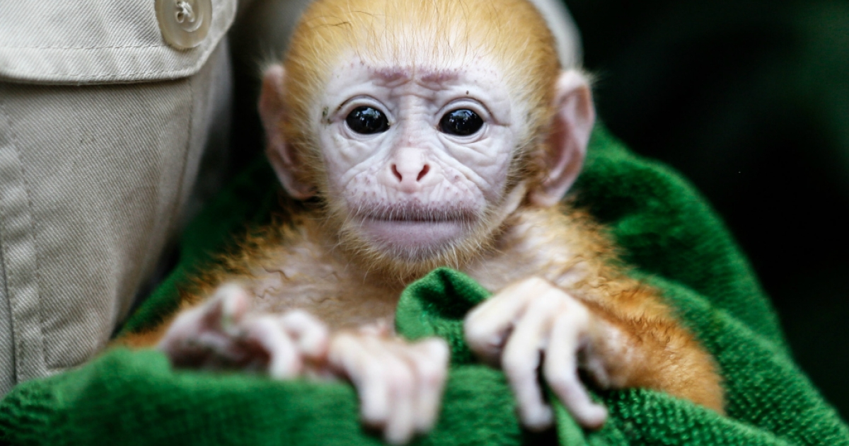 A zookeeper handles a week-old newborn baby Langur at Bali Zoo.</p>