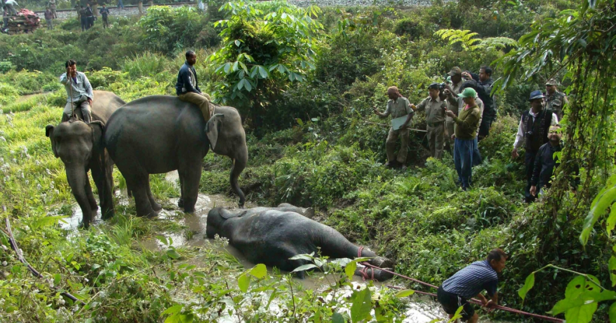 Indian forest workers drag a critically injured elephant calf from marshy land alongside the railway line in the Buxa Tiger Reserve in West Bengal on January 6, 2013. Three elephants, an adult female and two young males, were killed and two calves injured when the speeding Guwahati-bound Jhaja Express crashed into them.</p>