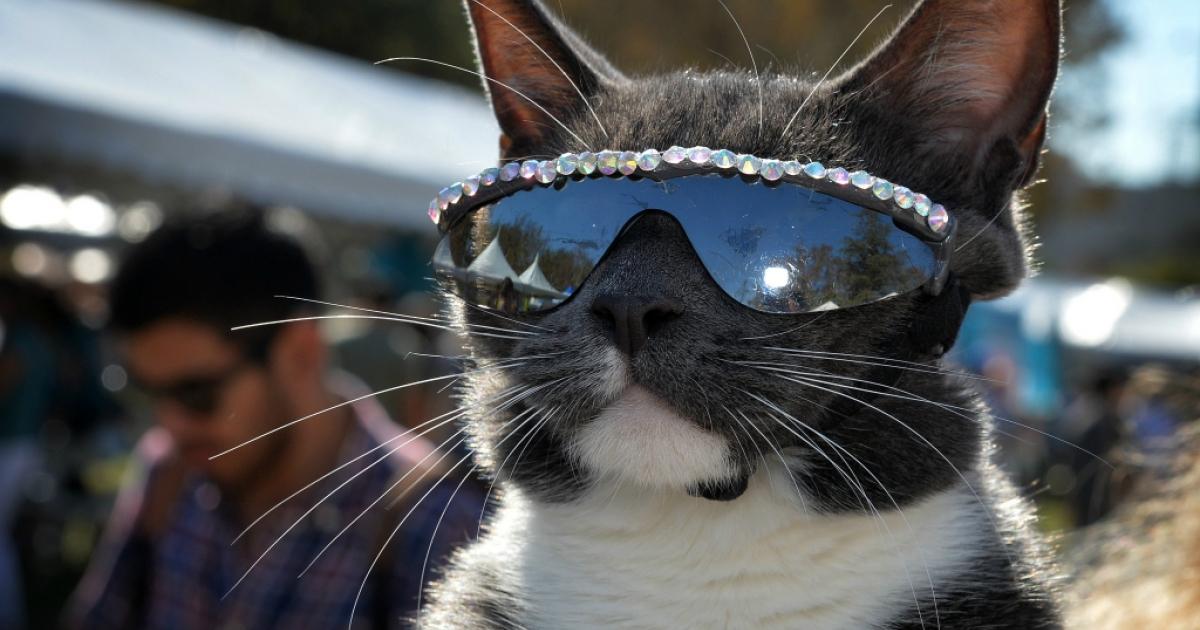 The sunglass cat.</p>