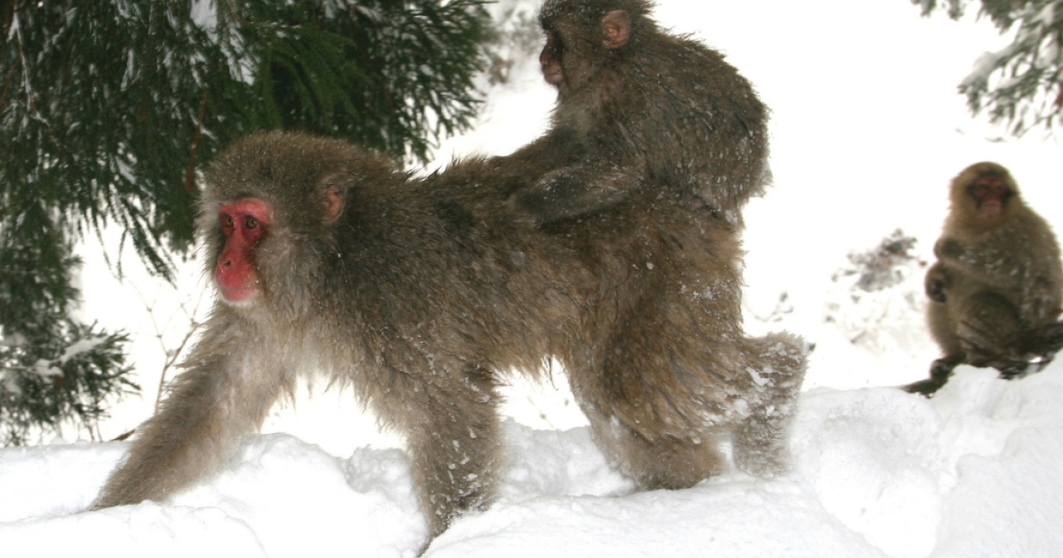 A Japanese macaque monkey gives her infant a ride at Jigokudani-Onsen (Hell Valley) on January 23, 2005 in Jigokudani, Nagano-Prefecture, Japan. Japanese Macaques, also known as snow monkeys are the most northerly nonhuman primate in the world.</p>