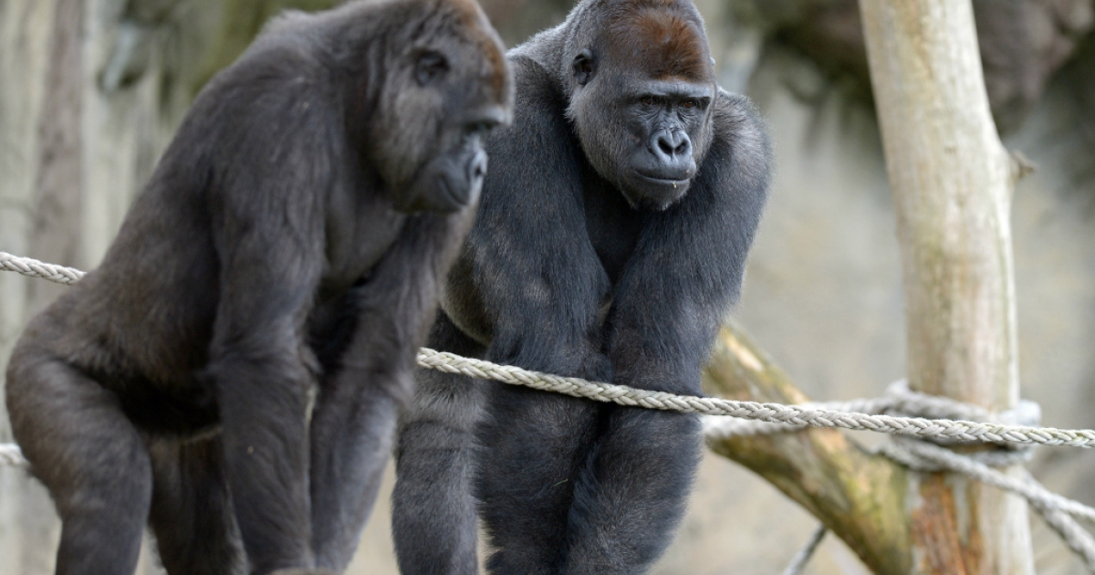 Western Lowland Gorillas explore their new habitat at the Taronga Zoo in Sydney.</p>