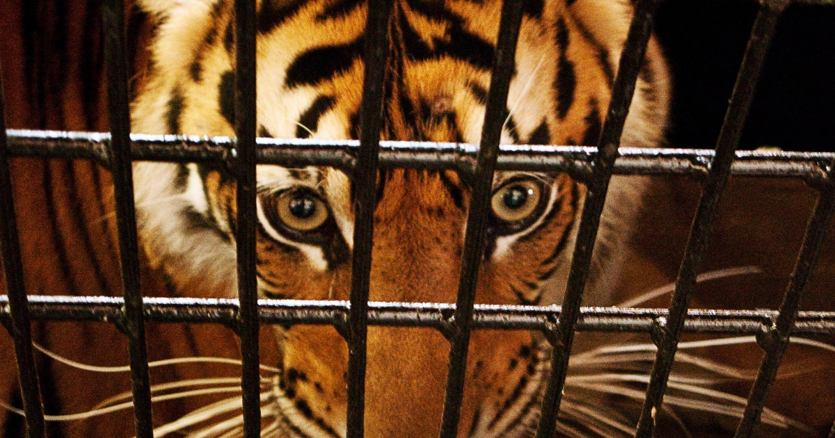 An endangered five-year old Sumatran tiger is placed in a transport cage in Banda Aceh on April 26, 2010 to be relocated to a safari park in Jakarta.</p>
