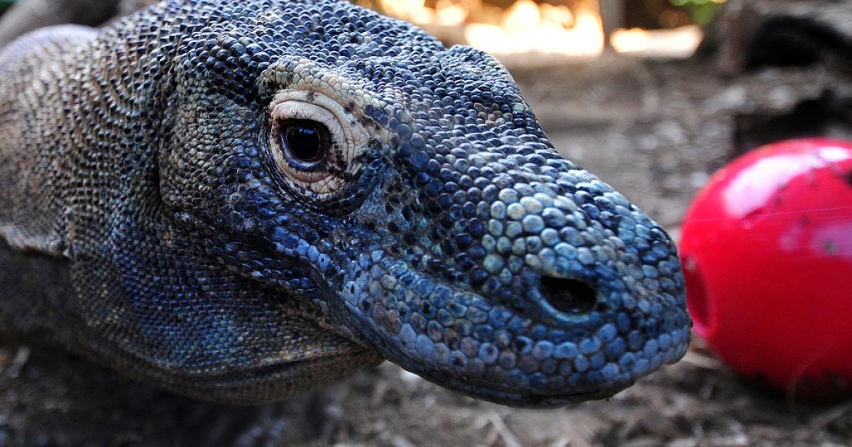 Komodo dragon.</p>