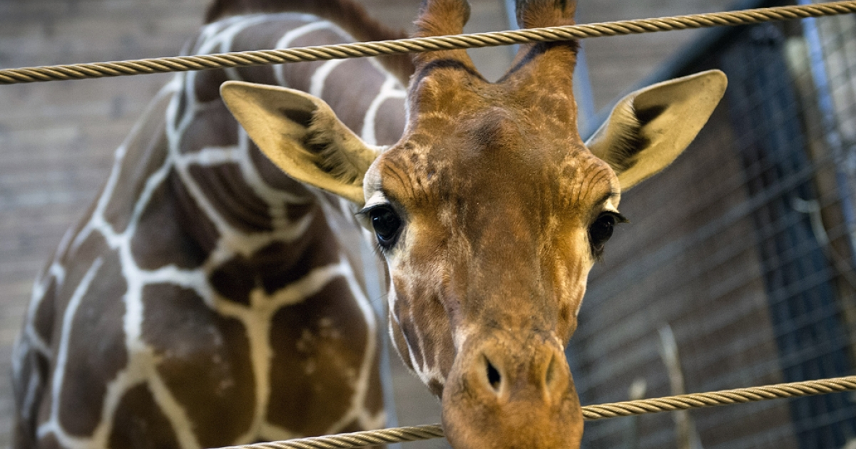 A perfectly healthy young giraffe named Marius on Feb. 7, 2014. Marius was shot dead and autopsied in the presence of visitors at the Copenhagen zoo, Feb. 9, despite an online petition to save it signed by thousands of animal lovers.</p>